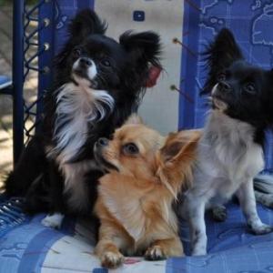 GIGI , MAIKA et MICHKA ,les trois chichis de Claude et Corinne de Messancy