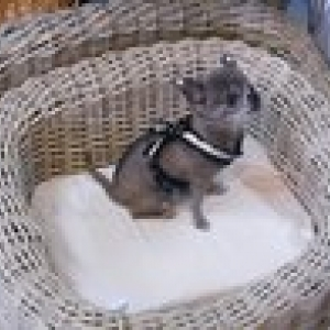 chiwa avec son harnais forpetsonly