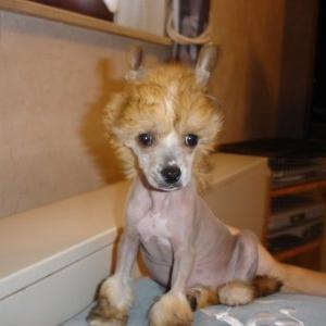 julia superbe chien à crete de sylvia et rene de boncelle