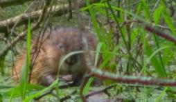 Rat musque
